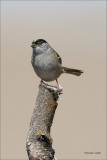 Yellow Crowned Sparrow, Lincoln County