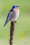 Mountain Blue Bird, Lincoln County