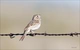 Vesper Sparrow, Lincoln County