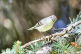 Ruby Crowned Kinglet, Lincoln County