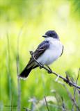 Eastern King Bird, Lincoln County