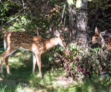 Twin fawns taken from my front door