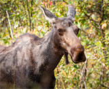 Cow Moose, Lincoln County
