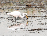 Great egret, Lincoln County