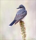 Eastern King Bird, Turnbull WLR.