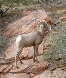 Big Horned Sheep Ram, Zion National Park