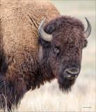 Bison, National Bison Range MT. Nov. 2015