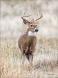 White Tail Buck, National Bison Range Nov. 2015