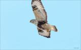 Rough Legged Hawk, Lincoln County