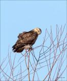 Rough Legged Hawk n Tree Lincoln County