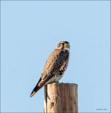 Prairie Falcon Lincoln County