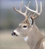 White Tailed Deer NW Bision Range MT