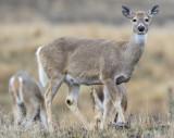 White Tail Buck,  Bison Range, MT