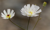 Desert Chicory flower, Death Valley, CA