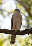 Coopers Hawk Sabino Canyon AZ