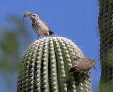 Cactus Wrens Sabino Canyon AZ