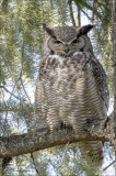 Great Horned Owl In my back yard