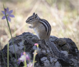 Chipmonk Turnbull Wildlife Refuge WA