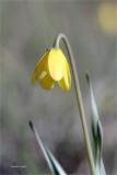 Yellow Bell Turnbull Wildlife Refuge WA