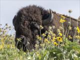 Bison n Wildflowers National Bison Range MT