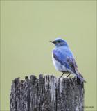 Mountain Blue bird National Bison Range MT
