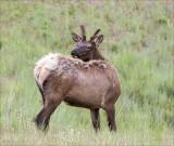 Elk NW Bison Range MT