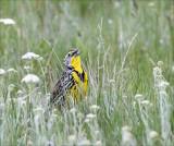 Meadow Lark NW Bison Range MT