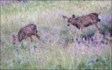 Twin Fawns, NW Bison Range, MT