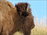 Bison National Bison Range, MT