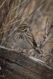 Savannah Sparrow Lincoln County
