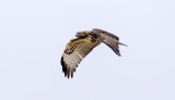 Red tail n flight, Lincoln County