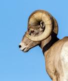 Big horned Sheep, Montana