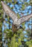 Great Grey Owl, Yellowston MT