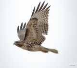 Red tailed Hawk, Lincoln County