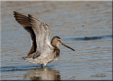 Long'billed Dowitcher, flapping