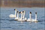 Trumpeter Swans...all six