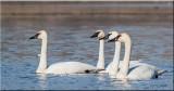Trumpeter Swan 'the leader'