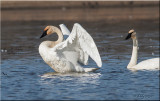 Trumpeter Swan stretching