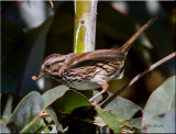 Song Sparrow with bug