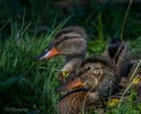 Mallared ducklings