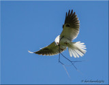 White-tailed Kites with nesting material