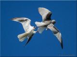 White-tailed Kites breeding display