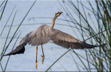 Great Blue Heron, flight