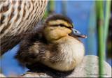 Mallard Duckling with mom