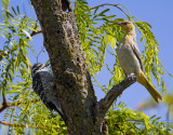 Nuttal's Woodpecker and Hooded Oriole