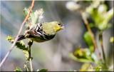 Lesser Finch