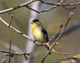 Lesser Finch-male