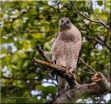Cooper's Hawk giving me the look!
