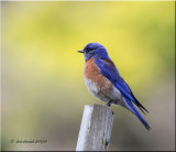 Western Bluebird, breeding plumage