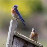 Western Bluebirds staking out new bluebird nesting box